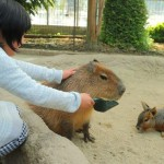 kapibara_fureai_doubutuoukoku_3-600x371