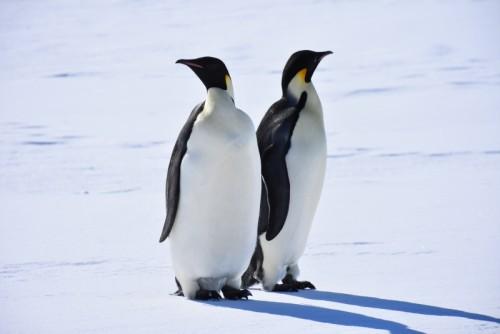 アデリーペンギンの秘密に迫る!(提供:国立極地研究所)